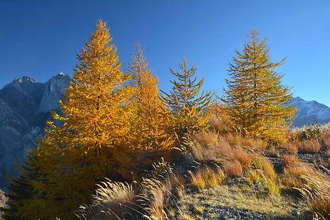 Sur les hauteurs d'Albanne en Maurienne, mélèzes en tenue d'automne.