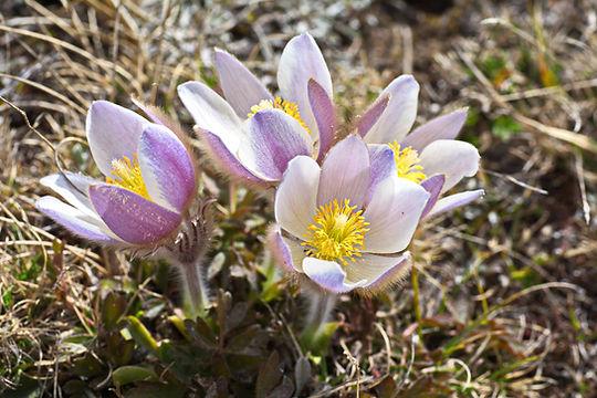 Anémones pulsatilles de printemps en Haute Maurienne.