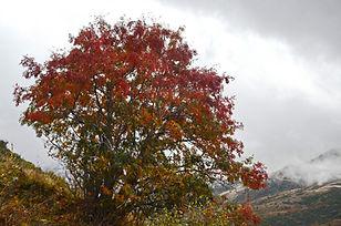 Sorbier en automne.