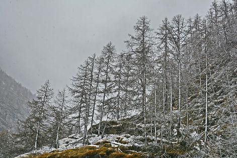Mélèzes poudrés de neige dans la plaine de Bessans, Haute Maurienne.