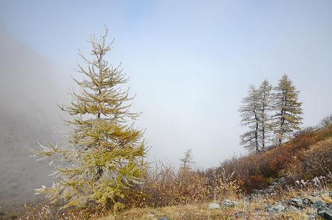 Mélèzes, sentinelles qui émergent du brouillard d'automne.