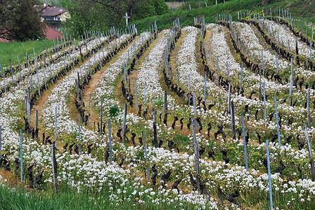 Dans les vignes de Savoie au printemps.