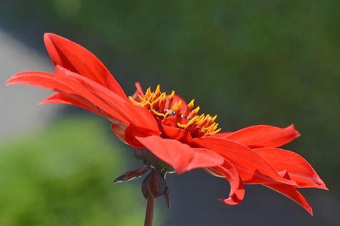 Fleur de cosmos.