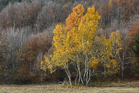 Ce massif de bouleaux ne semble pas décidé à perdre ses superbes feuilles jaunes.