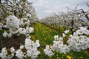 Vergers fleuris au printemps.