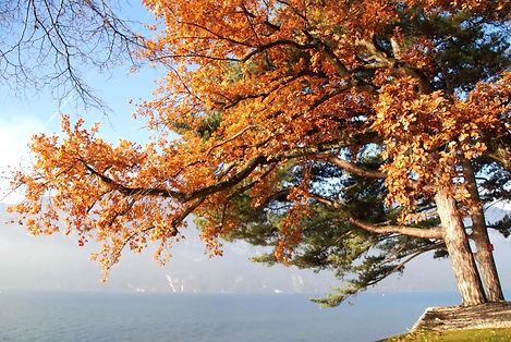 Penché vers le lac comme s'il voulait admirer le reflet de ses jolies branches.