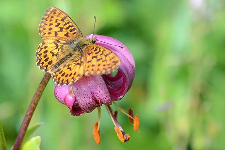 Papillon Tabac d'Espagne sur une fleur de lis Martagon.