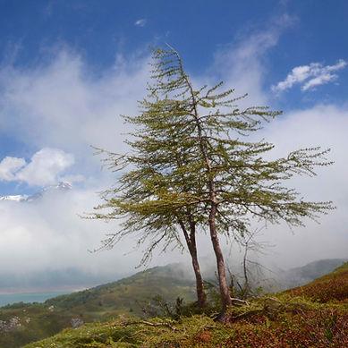 Dressés face au vent sur le plateau du Mont Cenis.