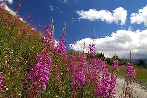 Epilobes sur le bord du chemin dans la vallée des Bellevilles en Tarentaise.