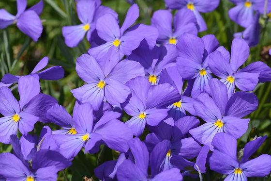 Viola Cenisia, violette emblématique du Mont Cenis.