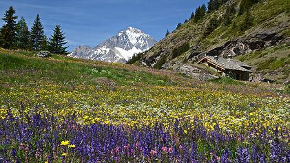 Prairie fleurie au Col de la Madeleine en Haute Maurienne,