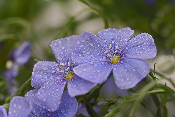 Fleurs de lin après la pluie.