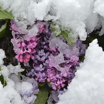En Haute Maurienne, il a neigé sur les lilas.