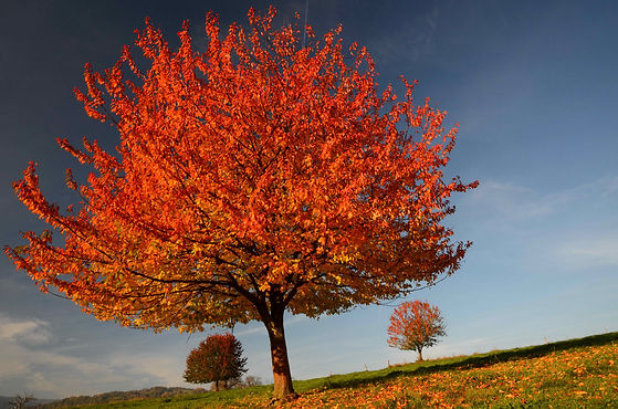 Cerisiers en tenue d'automne.