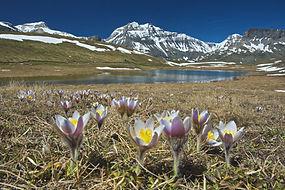 Début juin, Plan du Lac en Maurienne, les anémones pulsatilles sont les premières à fleurir.