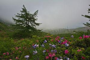 Clématites et rhododendrons un jour de brouillard au Mont Ceni