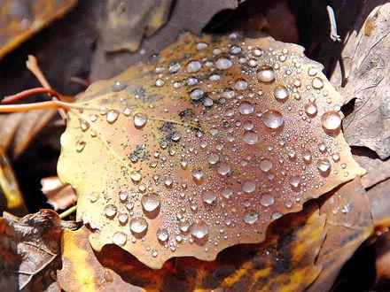 Rosée d'automne sur une feuille de tremble.