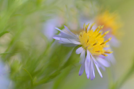 Aster.