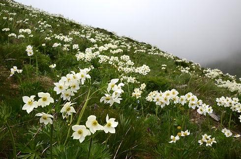 Anémones à fleurs de narcisses..