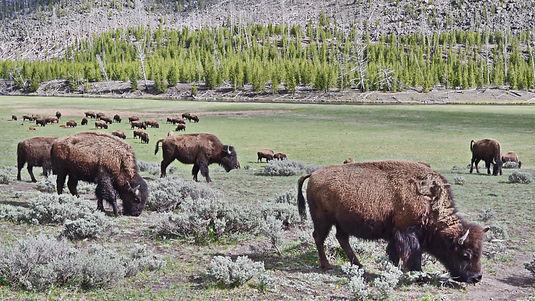 Le repas des bisons.
