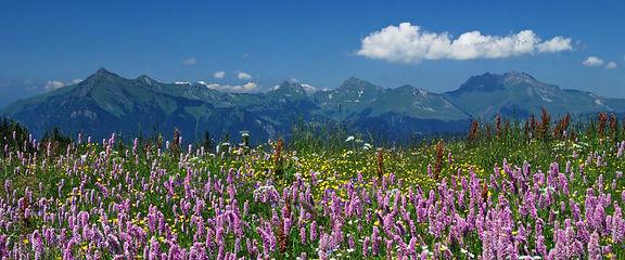 Prairie fleurie au dessus de Morillon en Haute Savoie.
