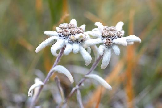 Edelweiss en Haute Maurienne.