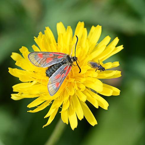 Papillon Zygène de la filipendule sur fleur d'épervière.