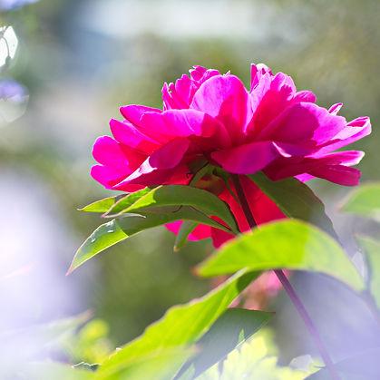Fleur de pivoine.