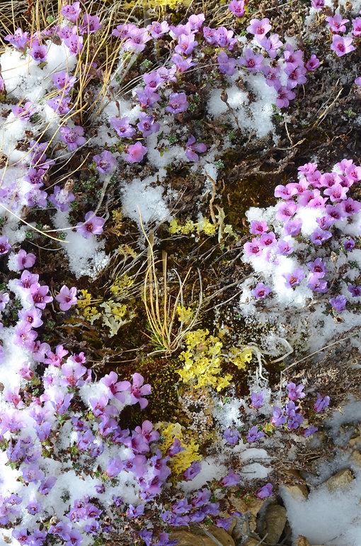 Il a neigé sur les fleurs de saxifrages.