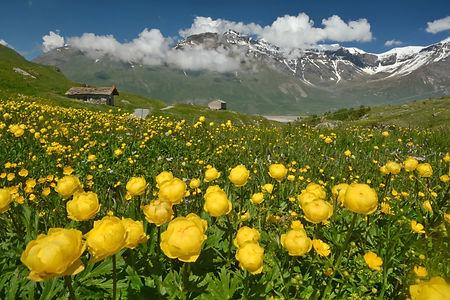 Prairie fleurie au Mont Cenis en Haute Maurienne.