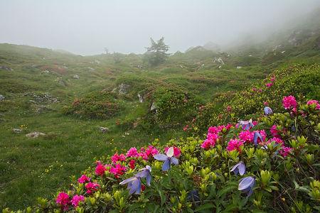 Rhododendrons et clématites sur le plateau du Mont Cenis un jour de brouillard.