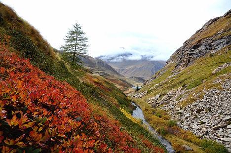 Myrtilliers dans un vallon sur le plateau du Mont Cenis en Haute Maurienne.