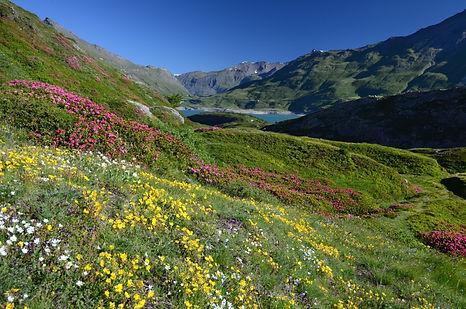Prairies fleuries au Mont Cenis en Haute Maurienne.