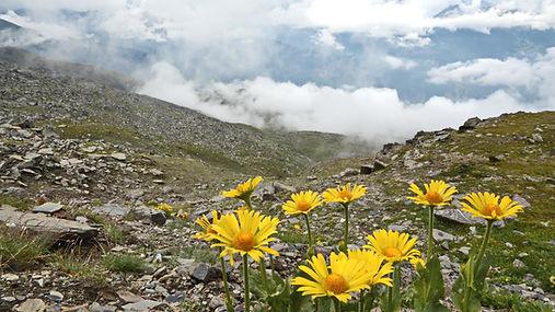 Arnica des montagnes.