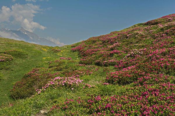Couleurs du printemps au Mont Cenis, dans le fond, la cime de Rochemelon.