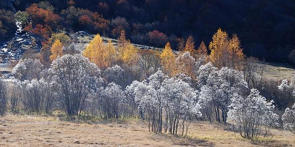 Etonnants saules lauriers dans la haute vallée des Bellevilles en Tarentaise.