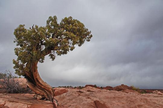 Canyonlands National Park Utah, genevrier ou la rage de vivre en milieu hostile.