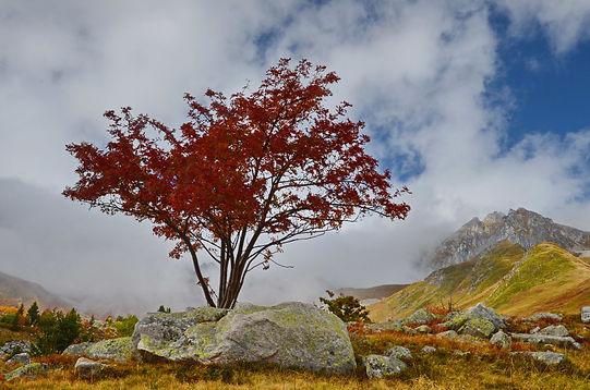 Erable en tenue d'automne.