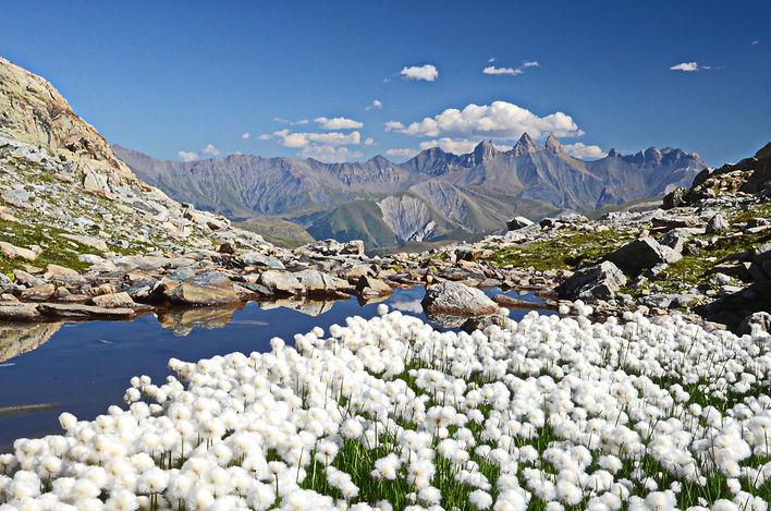 Superbe tapis de linaigrettes face aux Aiguilles d'Arves à côté du Lac de la Croix en Maurienne.