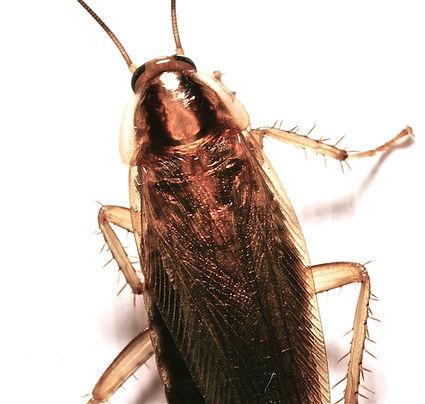 German Roaches, Roaches,  Summerville, Charleston, Goose Creek, Ladson, Moncks Corner, Pest Control