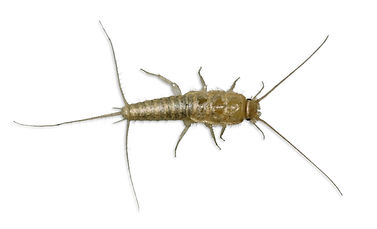 silverfish, infestation, summerville, goose creek, ladson, charleston, north charleston, moncks corner, south carolina, pest control, termite treatment