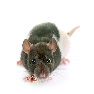Rats, squirrels, rodents, attic, crawlspace, crawl space, summerville, goose creek, ladson, moncks corner, charleston, south carolina