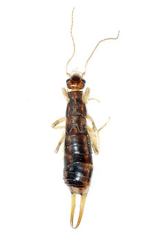 earwig, earwigs, infestation, summerville, goose creek, ladson, charleston, north charleston, moncks corner, south carolina, pest control, termite treatment