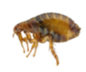 flea, fleas, infestation, summerville, goose creek, ladson, charleston, north charleston, moncks corner, south carolina, pest control, termite treatment