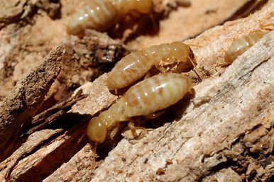Termite Treatment, Summerville, Charleston, Goose Creek, Ladson, Moncks Corner, Pest Control