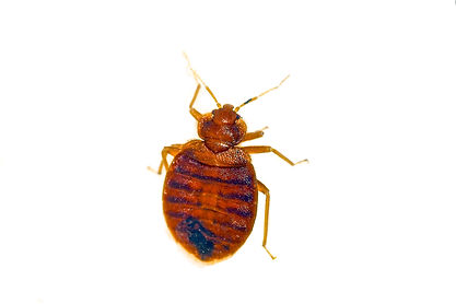 Bed Bugs, Summerville, Charleston, Goose Creek, Ladson, Moncks Corner, Pest Control