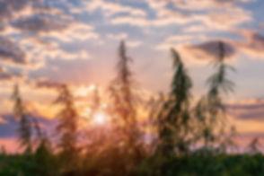 Cannabis plant in golden summer light, m