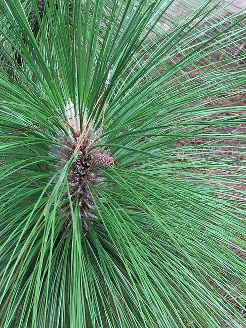Georgia Long Leaf Pine Needles