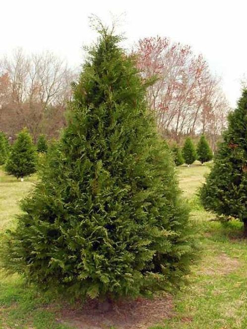 5' Murray Cypress Christmas Trees