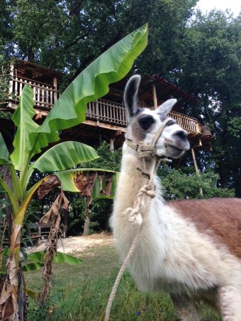 Picchu devant la cabane du lamas